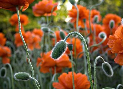 nature, flowers, plants, orange flowers, poppies - related desktop wallpaper