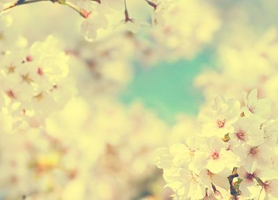 nature, flowers, Sakura, spring, blossoms - desktop wallpaper