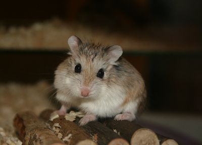 animals, brown, hamsters, black eyes, logs, bedding - random desktop wallpaper