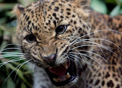 animals, wildlife, feline, teeth, jaguars - random desktop wallpaper