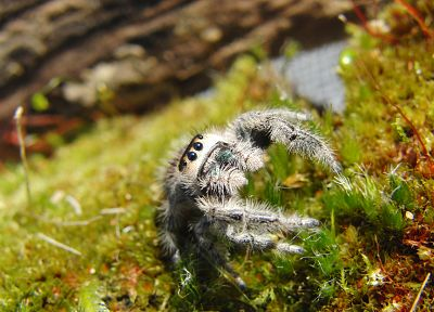moss, spiders, jumping spider, arachnids - desktop wallpaper