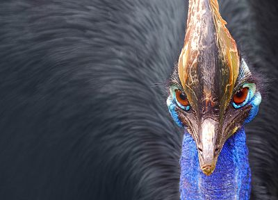 birds, macro, cassowary - random desktop wallpaper