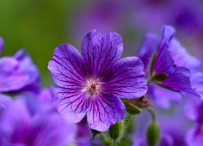 nature, flowers, macro, violets, purple flowers - random desktop wallpaper