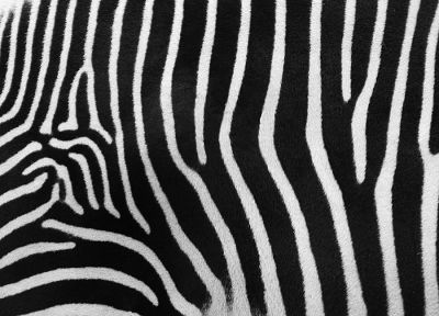 zebras, carpet - desktop wallpaper