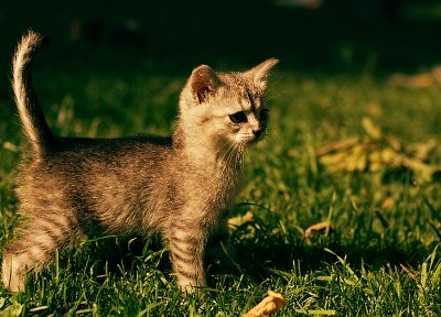 cats, animals, grass, outdoors, kittens - related desktop wallpaper
