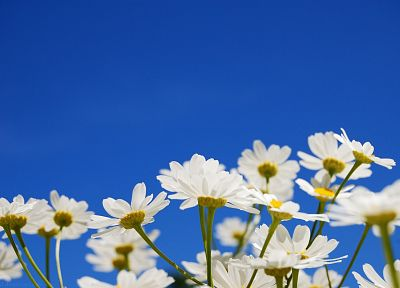 flowers, white flowers, blue skies - desktop wallpaper