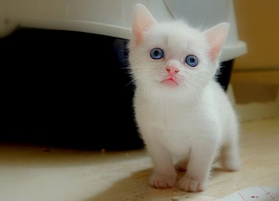 cats, blue eyes, kittens, pets - random desktop wallpaper