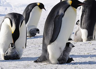 snow, animals, penguins - related desktop wallpaper