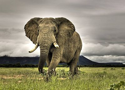 animals, elephants, African, mammals - desktop wallpaper