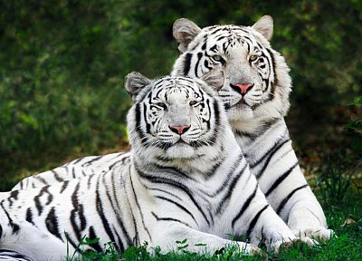 nature, animals, tigers, white tiger - desktop wallpaper