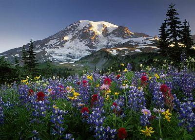 mountains, landscapes, flowers, Mount Rainier, wildflowers - random desktop wallpaper