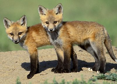 animals, foxes - random desktop wallpaper