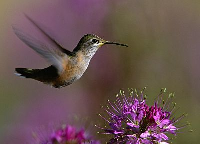 close-up, nature, flowers, birds, hummingbirds - desktop wallpaper