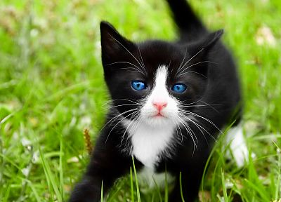 cats, blue eyes, animals, grass, kittens - desktop wallpaper
