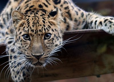 animals, leopards, Amur Leopard - random desktop wallpaper
