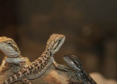 animals, lizards, reptiles, Bearded dragon - related desktop wallpaper