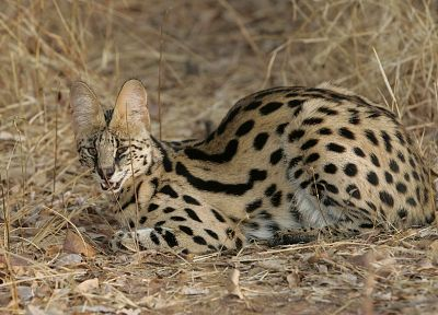 animals, outdoors, brown eyes, plains, serval, spotted, wildcat - desktop wallpaper