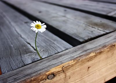 nature, flowers, wood, daisy, daisies - related desktop wallpaper