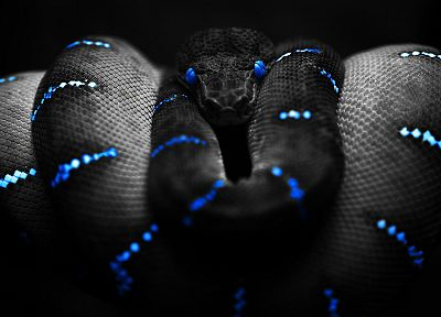blue, black, snakes, black background - desktop wallpaper