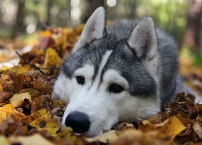 animals, leaves, husky, wolves - desktop wallpaper