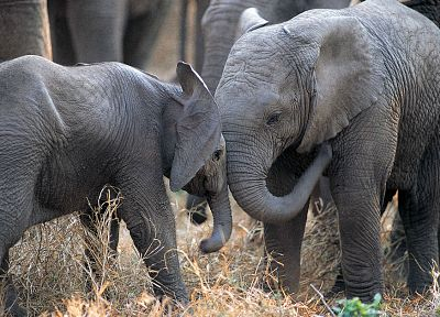 animals, elephants, baby elephant, baby animals - desktop wallpaper