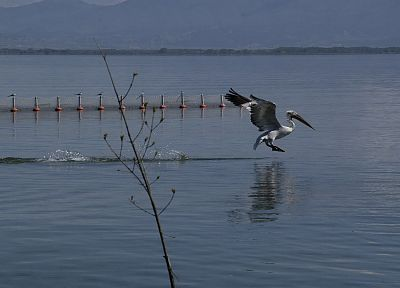 nature, animals, Greece, lakes, Macedonia, pelicans, Kerkini, kerkini lake - desktop wallpaper