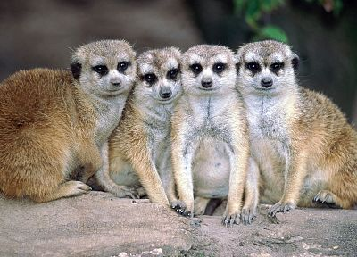 animals, meerkats, mammals - random desktop wallpaper