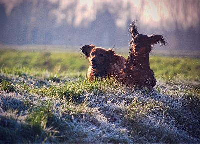 animals, grass, dogs, running - related desktop wallpaper