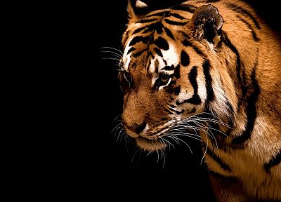 animals, tigers, black background - related desktop wallpaper