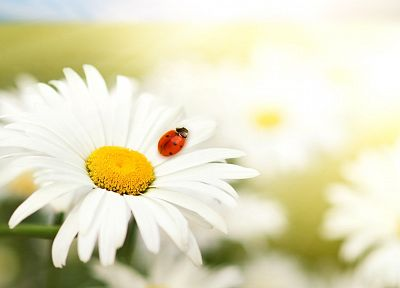 nature, flowers, summer, daisy, ladybirds - related desktop wallpaper