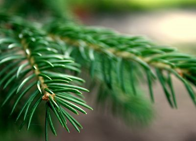 nature, trees, macro, spruce, branches - related desktop wallpaper