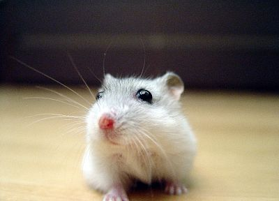 close-up, animals, curious, hamsters, black eyes - random desktop wallpaper
