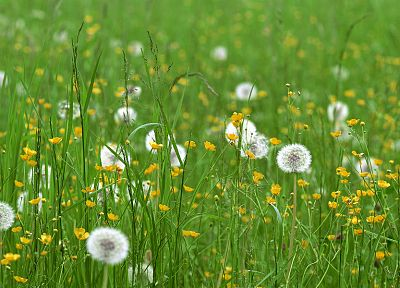 meadows, dandelions - desktop wallpaper