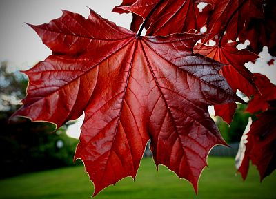 nature, leaf, red, plants - random desktop wallpaper