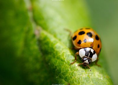 close-up, insects, ladybirds - related desktop wallpaper