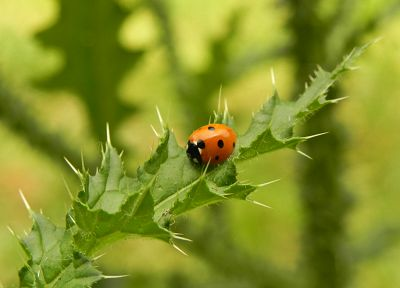 animals, insects, ladybirds - desktop wallpaper