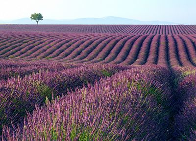 landscapes, flowers, fields, lavender, purple flowers - related desktop wallpaper