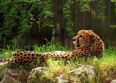 animals, cheetahs, feline - random desktop wallpaper