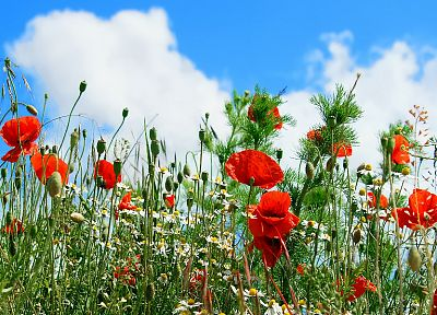 red, flowers, poppy, blue skies - desktop wallpaper