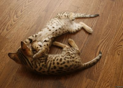 floor, animals, kittens, serval, spotted, wildcat, wood floor - desktop wallpaper