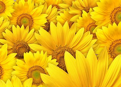 nature, flowers, sunflowers, yellow flowers - desktop wallpaper