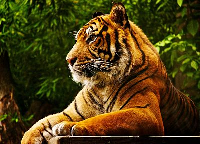 forests, animals, tigers, feline - random desktop wallpaper