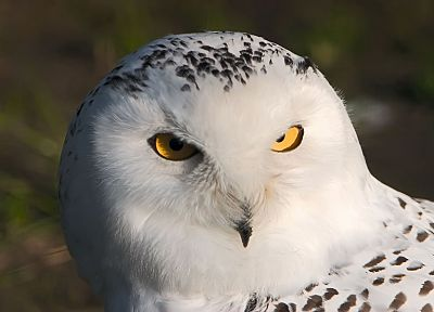 birds, owls, snowy owl - random desktop wallpaper