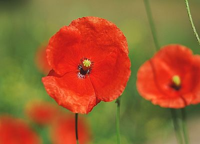 nature, flowers, macro, poppy, depth of field - related desktop wallpaper