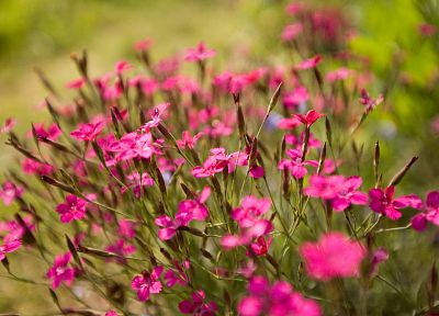 nature, flowers, outdoors, pink flowers - related desktop wallpaper