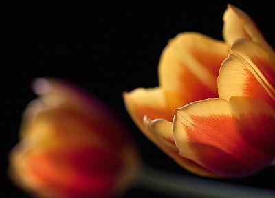 flowers, tulips - duplicate desktop wallpaper