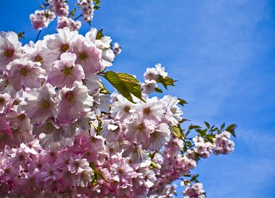 nature, trees, flowers, blossoms, pink flowers - related desktop wallpaper