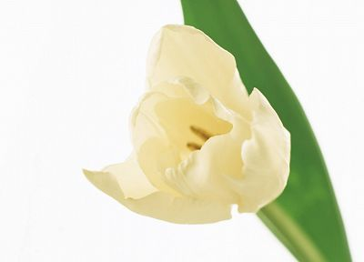 flowers, tulips, white background, white flowers - random desktop wallpaper