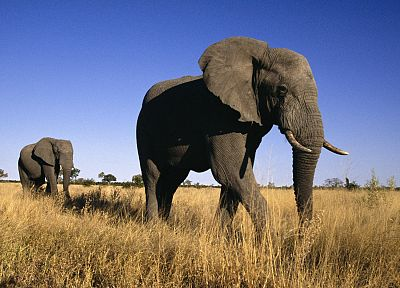 animals, male, elephants, Africa - random desktop wallpaper