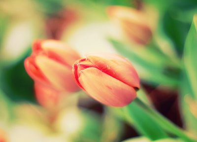 nature, flowers, tulips - desktop wallpaper